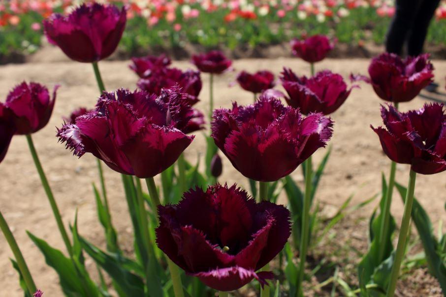 Milano in fiore con tulipani italiani il giornale del for Tulipani italiani